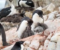 Adelie penguins witch chicks, Petermann Island, Antarctica