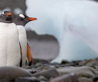 Gentoo penguins at Yankee Harbour, Greenwich Island