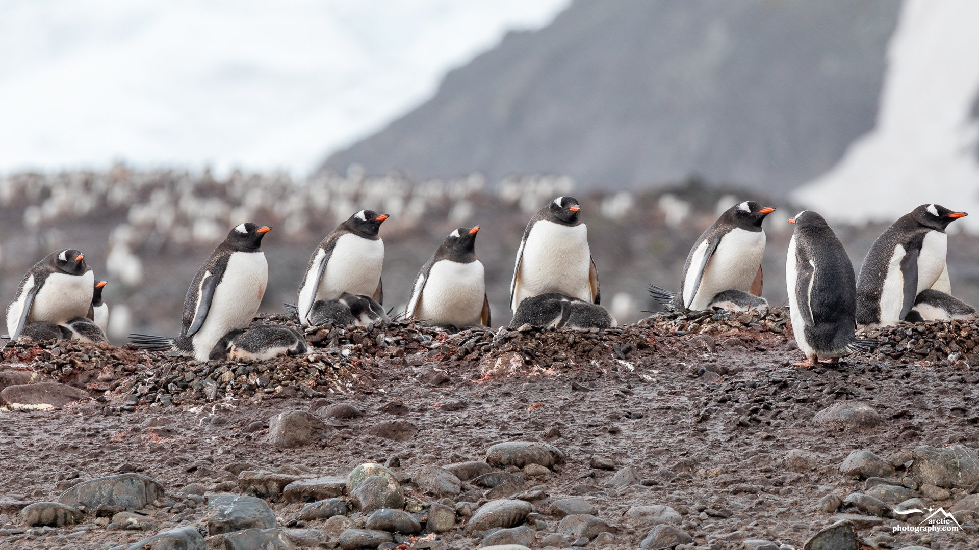 Gentoo penguins with chicks at Yankee Harbour, Greenwich Island