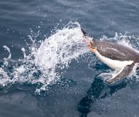 Diving or jumping Gentoo penguin, Antarctica