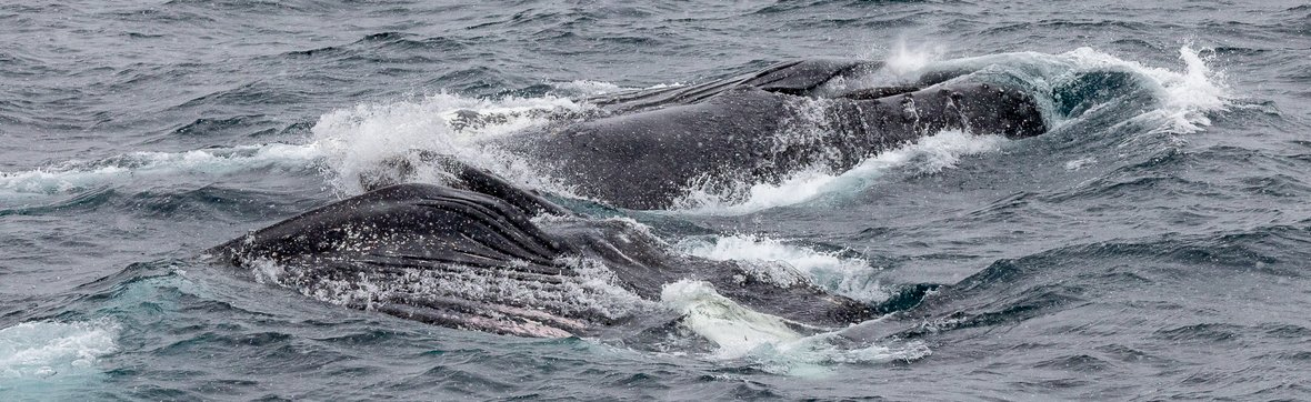 Humpback Whales on our way to Orne Harbour, Gerlache Strait (Antarctica)