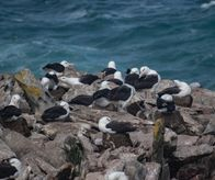 Alabatrosses with chicks, Westpoint Island (Falkland Islands)