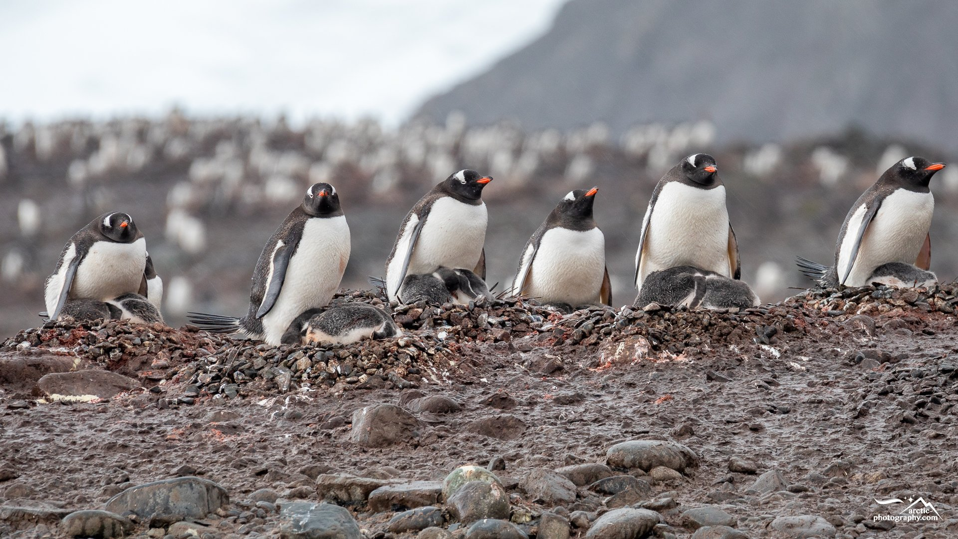 Penguins at Yankee Harbour, Greenwich Island I SSI