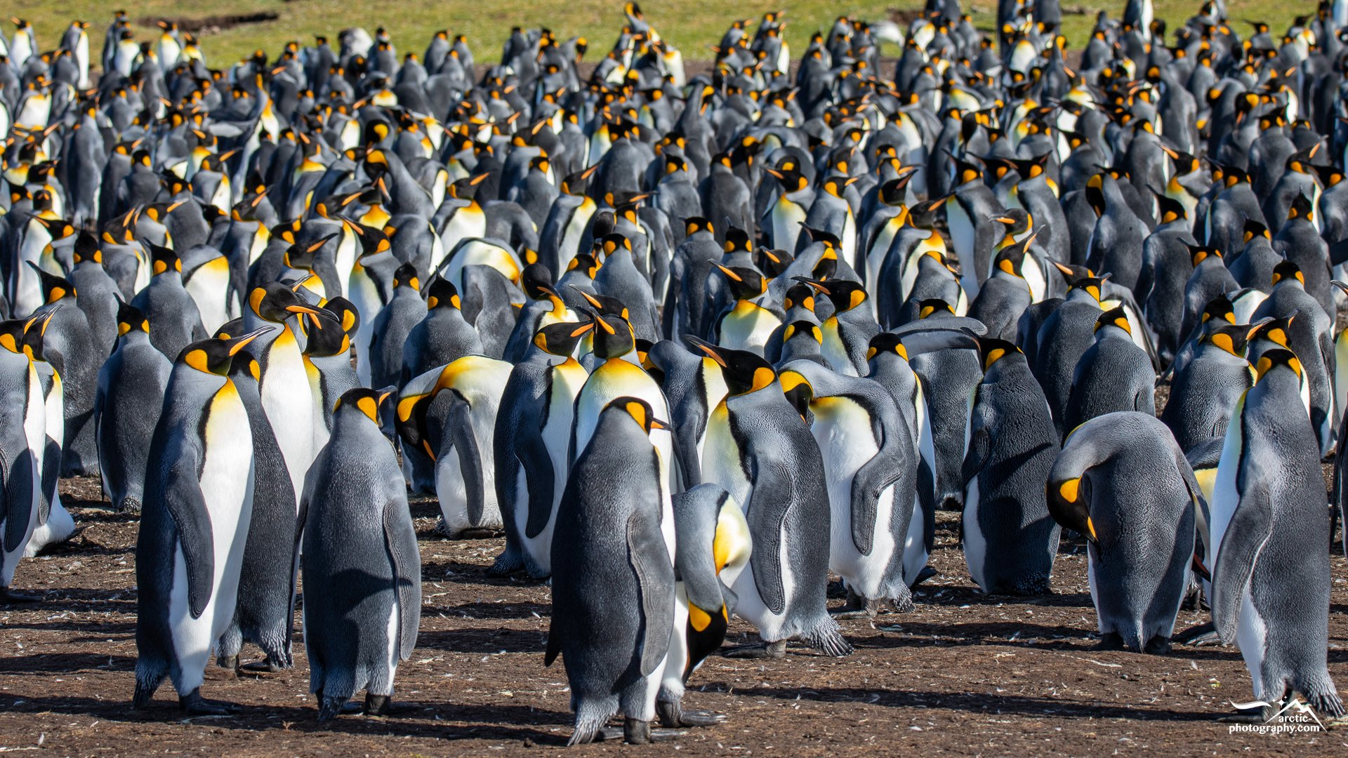 King penguin colony at Volunteer Point I Falkland Islands