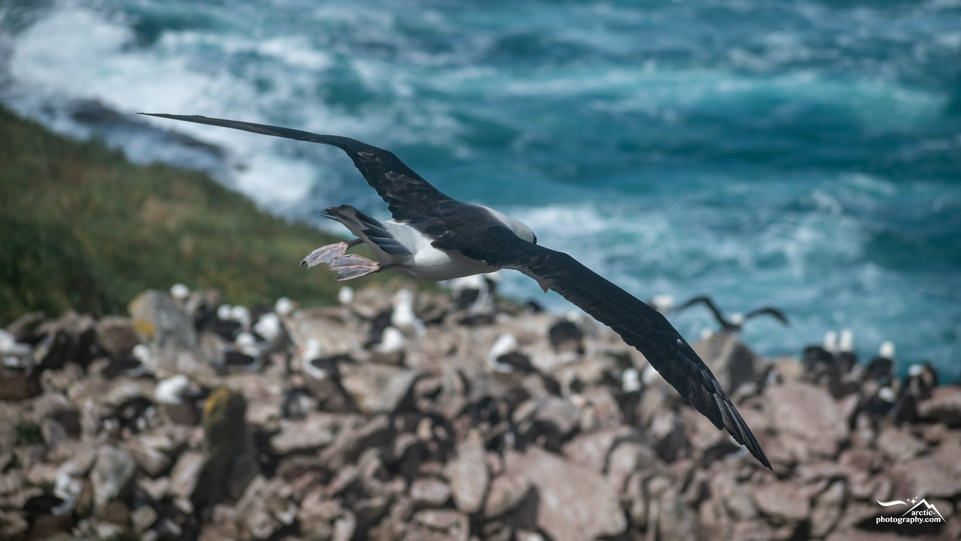 Albatross in the air, Westpoint Island I Falkland Islands